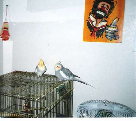 My cockatiel name Pele, 1989